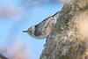 White-breasted Nuthatch (2)-579398079-O