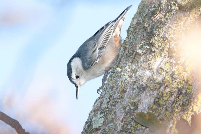 White-breasted Nuthatch (1)-579397981-O