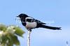 magpie jay_08-06-29_08-06-29_B-574572184-O