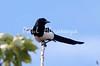magpie jay_08-06-29_08-06-29_B-574572173-O