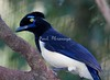 Plush Crested Jay Brd Prk_06-0-574576115-O