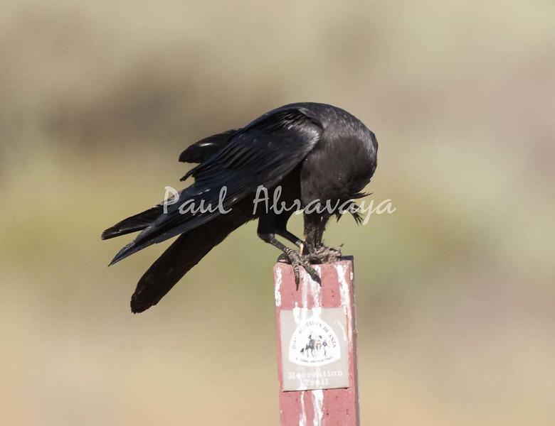 Crow Satwiwa_7I2B5468_2011-05--1429097921-O