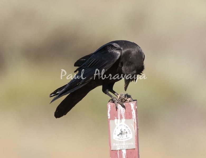 Crow Satwiwa_7I2B5466_2011-05--1429097706-O