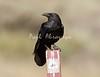 Crow Satwiwa_7I2B5472_2011-05--1429098304-O