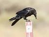 Crow Satwiwa_7I2B5464_2011-05--1429097656-O