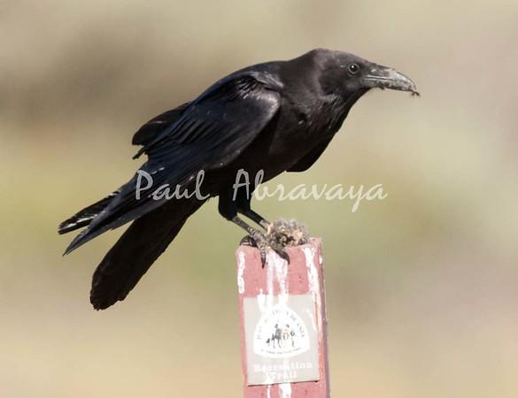 Crow Satwiwa_7I2B5465_2011-05--1429097629-O