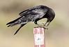 Crow Satwiwa_7I2B5463_2011-05--1429097108-O