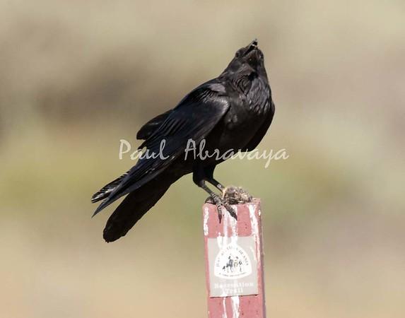 Crow Satwiwa_7I2B5467_2011-05--1429097849-O