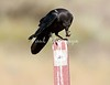 Crow Satwiwa_7I2B5471_2011-05--1429098217-O