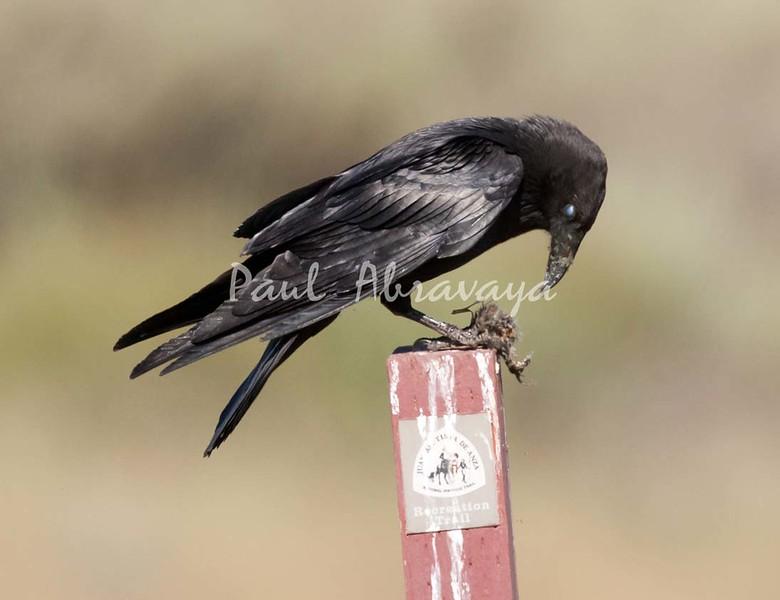 Crow Satwiwa_7I2B5462_2011-05--1429097202-O