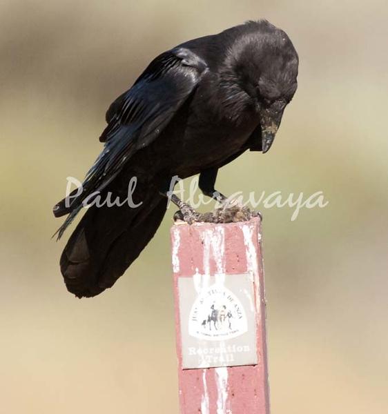 Crow Satwiwa_7I2B5473_2011-05--1429098347-O