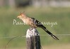 guira cuckoo (1)_163_08-05-05-574792443-O