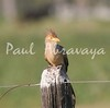 guira cuckoo_167_08-05-05-574792487-O