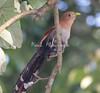squirrel cucoos (3)_CostaRica--574801332-O
