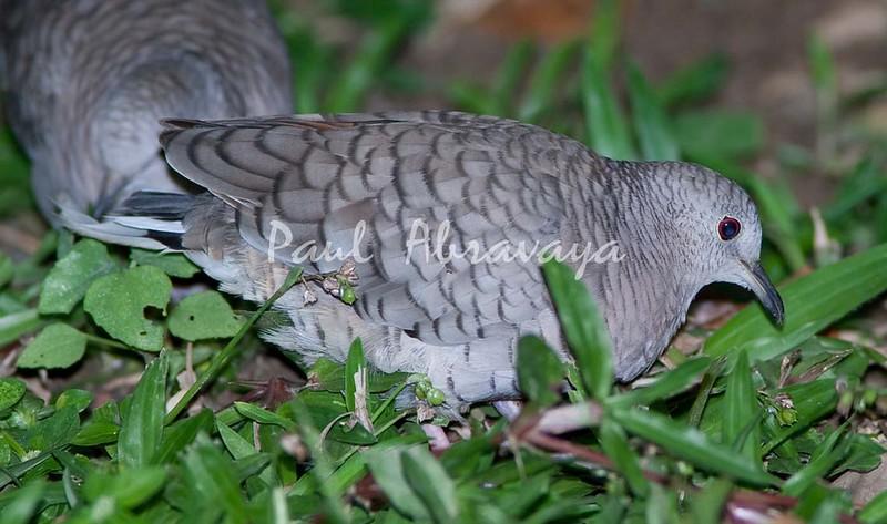 Inca Dove_07-08-19_0010-579322912-O