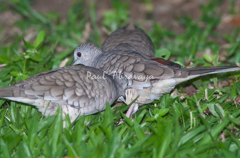 Inca Dove_07-08-19_0009-579322886-O