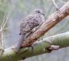 IncaDove Tucson_10-10-23_IMG_2-1077603642-O