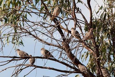 Doves (1)-579328888-O