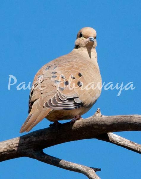 Doves (3)-579329054-O