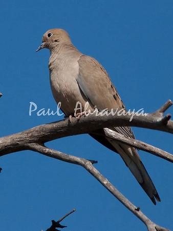Copy (1) of Doves (1)-579328845-O