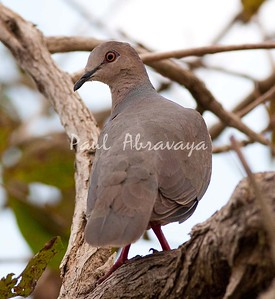 Plumbeous Pidgeon Pant_06-08-1-579332398-O