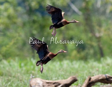 Black-bellied Whistling Duck_0-571423468-O