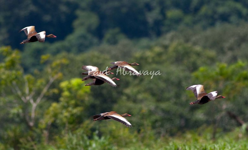 Black-bellied Whistling Duck_0-571423519-O
