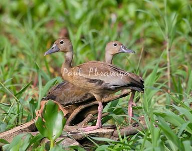 ducks, black-bellied whistling-571413273-O