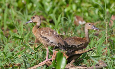 ducks, black-bellied whistling-571413344-O