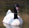 Black-Necked Swan BrdPrk_06-08-571417702-O