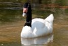 Black-Necked Swan BrdPrk_06-08-571417546-O