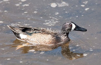 BlueWingTeal Carpenteria_8_04--571956944-O