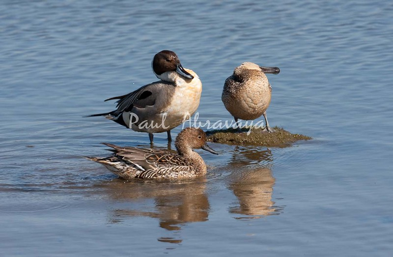 BlueWingedTeal BolChica_36_02--571956911-O