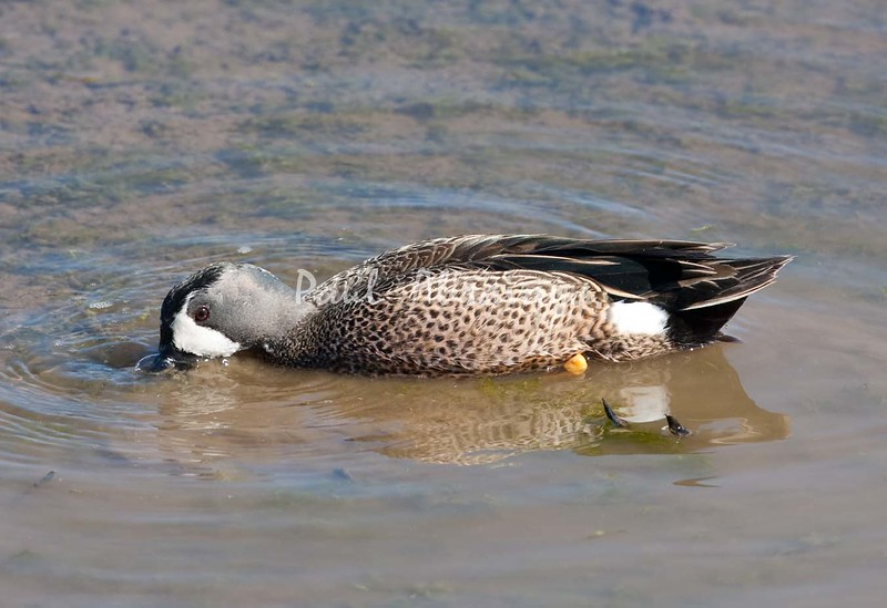 BlueWingedTeal BolChica_28_02--571956868-O