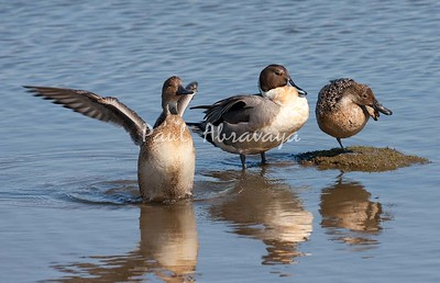 BlueWingedTeal BolChica_35_02--571956891-O