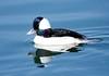 Bufflehead Duck BChica_08-02-1-571982082-O