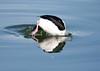 Bufflehead Duck BChica_08-02-1-571982181-O