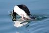 Bufflehead Duck BChica_08-02-1-571982149-O