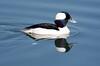 Bufflehead Duck BChica_08-02-1-571982038-O