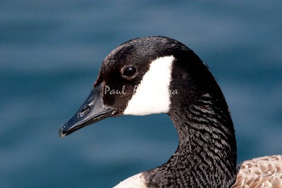 Canadian Goose BolsaChica_07-1-571992941-O