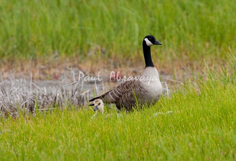 08-07-07_Canada Geese_08-07-07-571992885-O