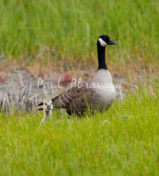 08-07-07_Canada Geese_08-07-07-571992867-O