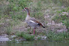 EgyptianGoose Chobe_14-03-08__O6B1387