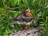 MandarinDuck (10)-572032029-O