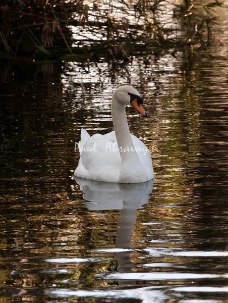 Swan BokTowers FL_IMG_3094_11--1195606232-O
