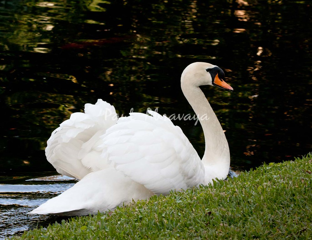Swan BokTowers FL_IMG_3099_11--1195606448-O