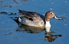 NorthPintailDuck BolChica_2_02-572043629-O