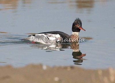Red-Breast Merganser BolsaChic-572059687-O