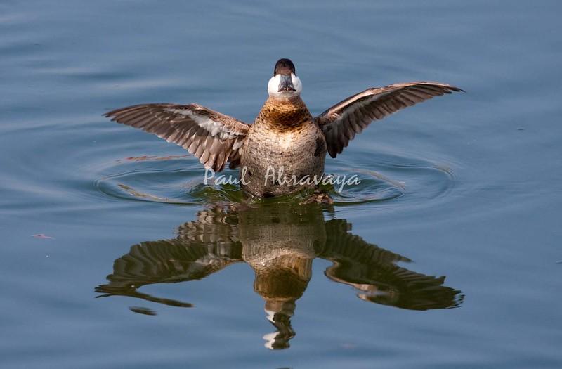 Ruddy Duck BolsaChica_07-12-30-572109923-O