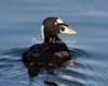 Surf Scoter BChica_08-02-10_00-572116047-O